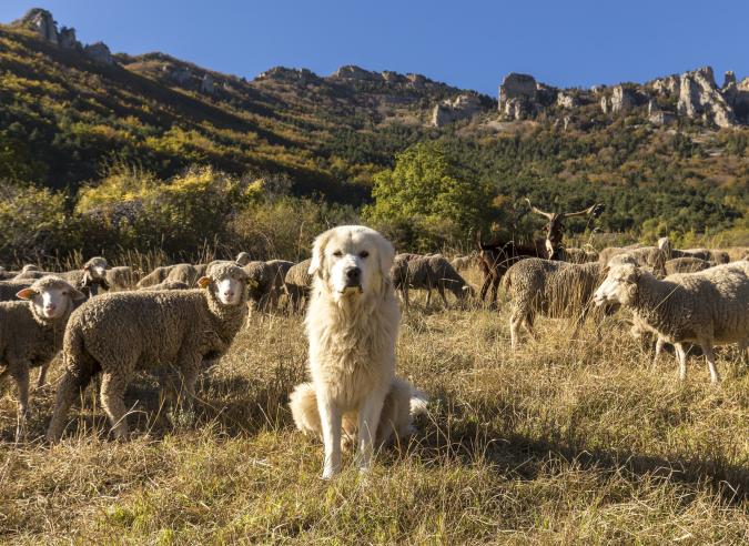Le patou, chien de protection des troupeaux